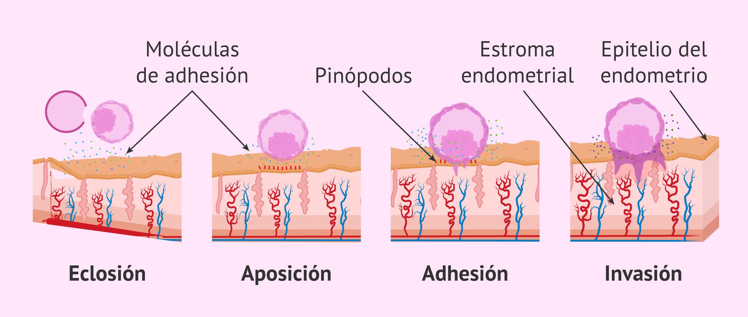 Anidación de los embriones