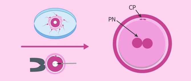 Embrión en día 1: cigoto