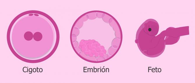Cigoto, embrión y feto: ¿cuál es la diferencia?