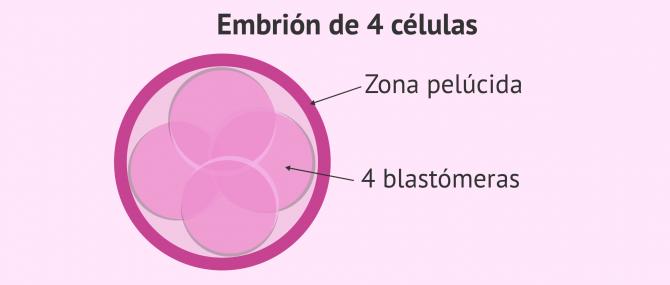 Imagen: Estadio embrionario: embrión con 4 células