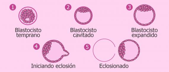 Blastocisto