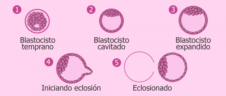 Clasificación de blastocistos según su calidad