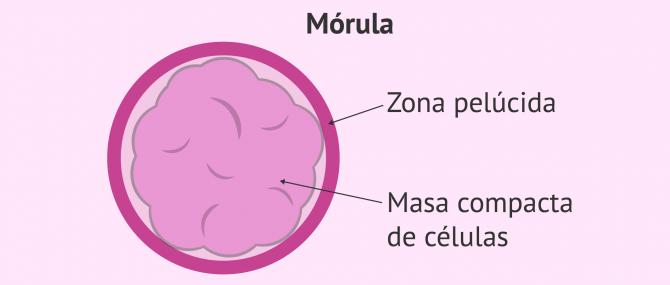 Imagen: Mórula