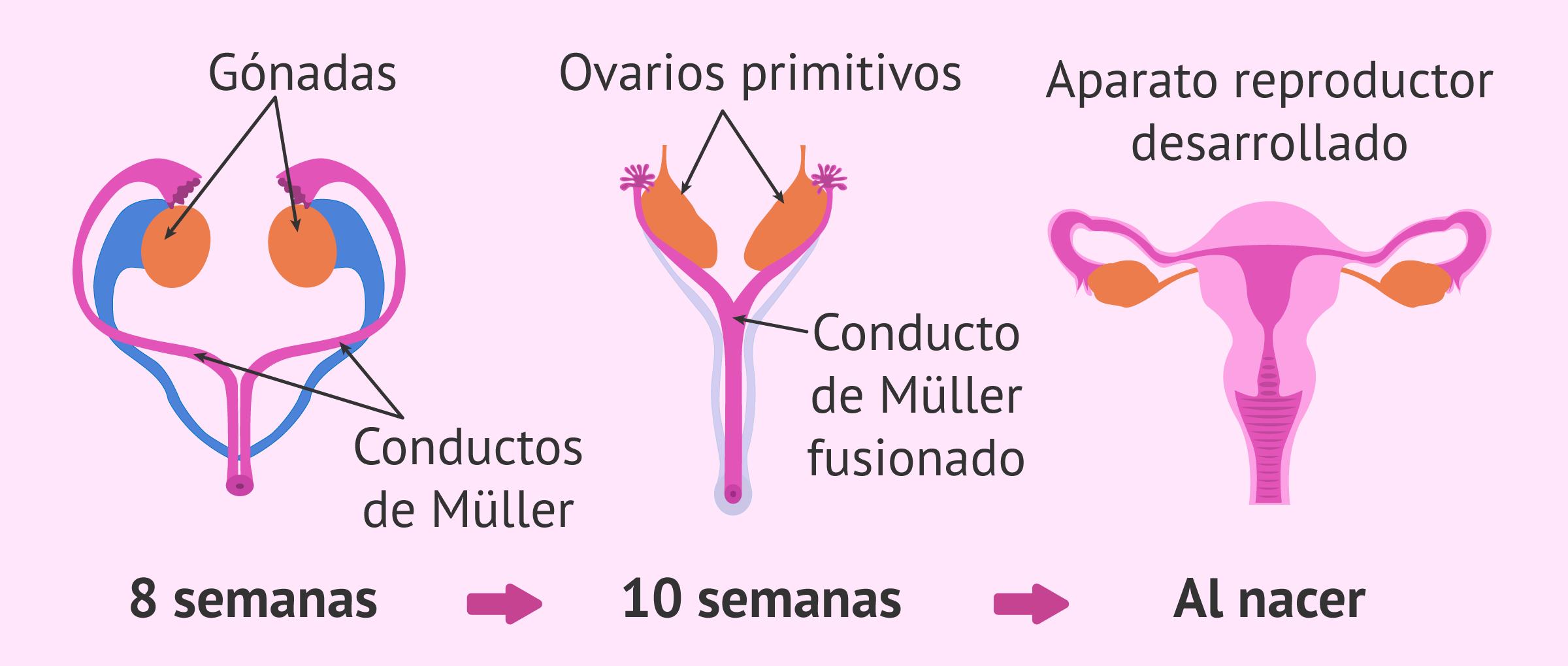Desarrollo del aparato reproductor femenino