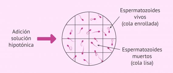 Test hiposmótico para medir la integridad de la membrana espermática