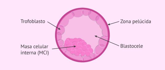 Estructura del embrión en estadio de blastocisto