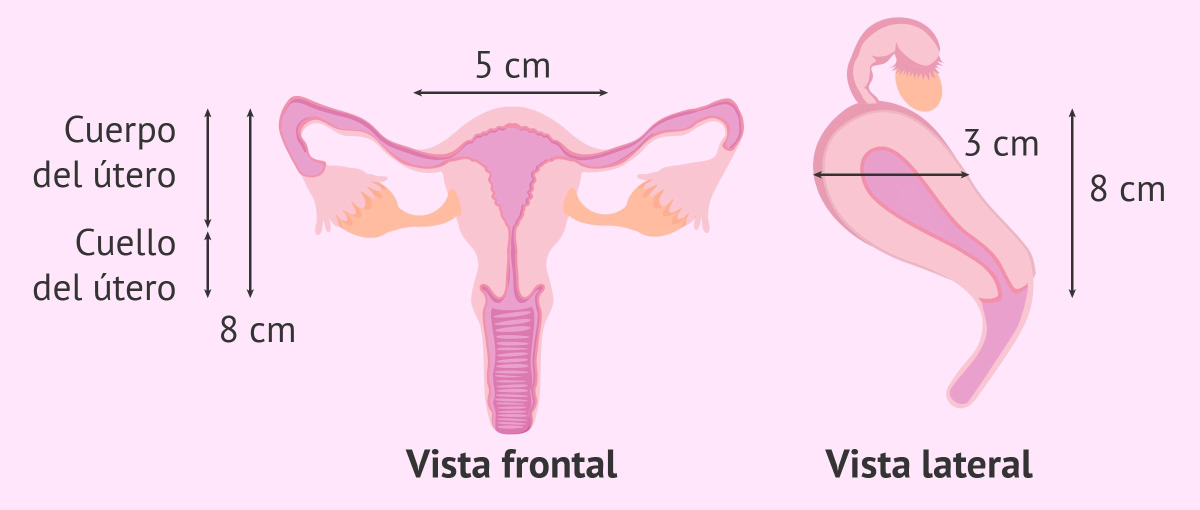 Medidas del útero normal